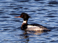 Red-Breasted Merganser (Mergus serrator) (4)