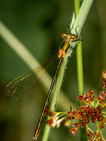 Emerald Damselfly (F) (2)