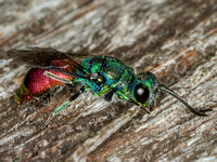 Ruby-tailed Wasp (Chrysis ignita)