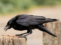 Carrion Crow (Corvus corone corone) (4)