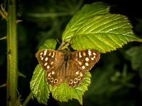Speckled Wood (Pararge aegeria) (2)